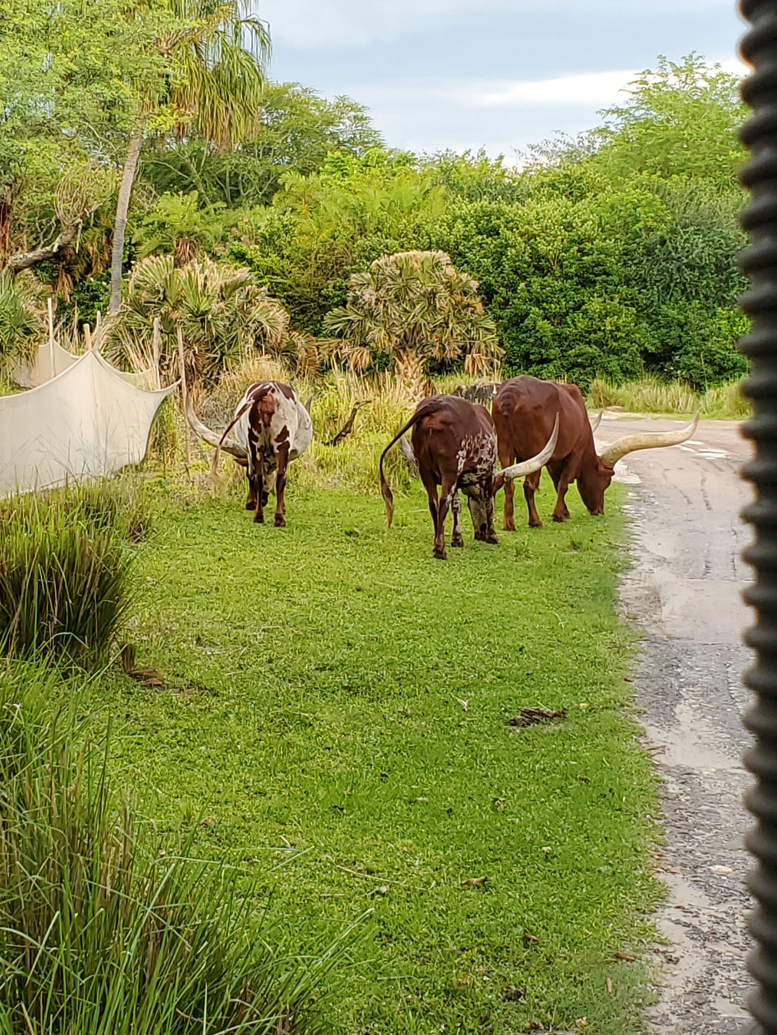 Ancolli Cattle